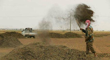 الفريكة من حقول القمح إلى موائد العوائل في شمال غرب سوريا