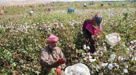 شركة قاطرجي تضع يدها على محصول القطن في دير الزور