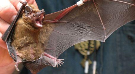 مجموعة جديدة من فيروسات كورونا في الخفافيش قابلة للانتشار في أي لحظة