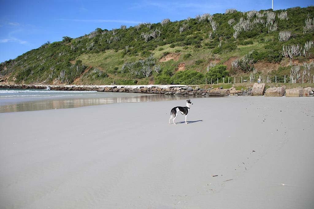 italian greyhound on the beach