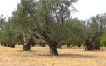 Thousands years old Olive Trees grove