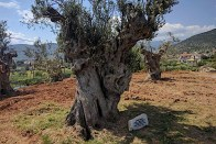 Thousands years old Olive Tree transplanted in the Olive Theme Park
