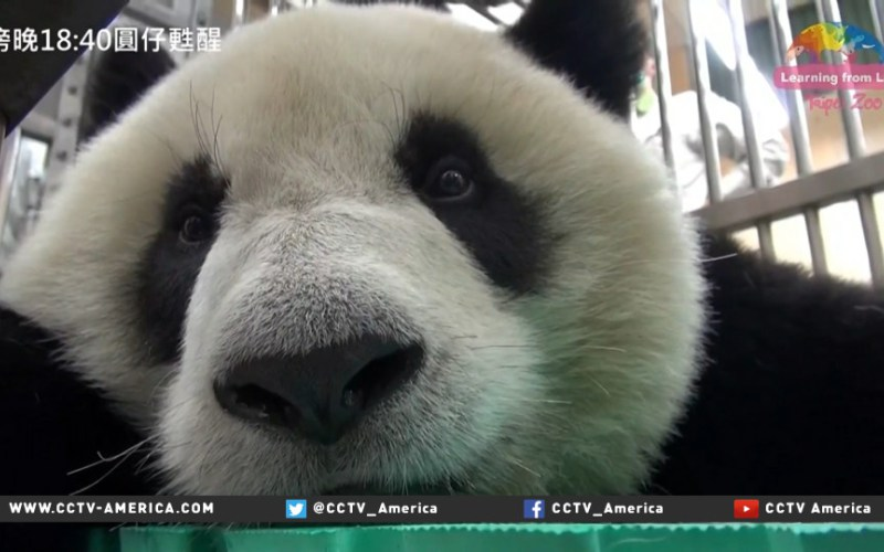 Taiwan zoo Panda accidentally swallows hypodermic needle