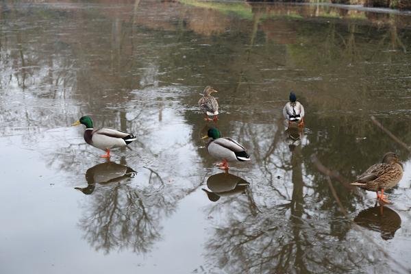 Savill-Gardens-ducks-walking-on-frozen-pond