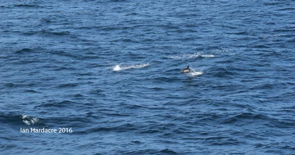 Azura-June16-Irish-Sea-dolphins-4 - Ian Hardacre