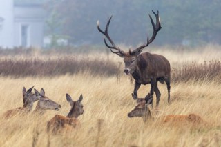 Richmond Park Stag and Hinds