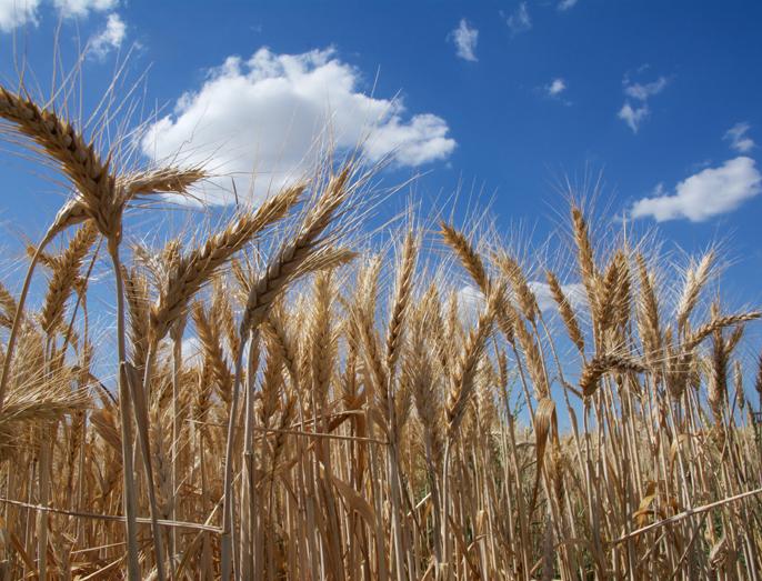 Descifrado el genoma del trigo