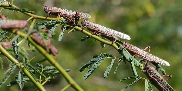 Locust Attack – Causes, Concerns, Solutions