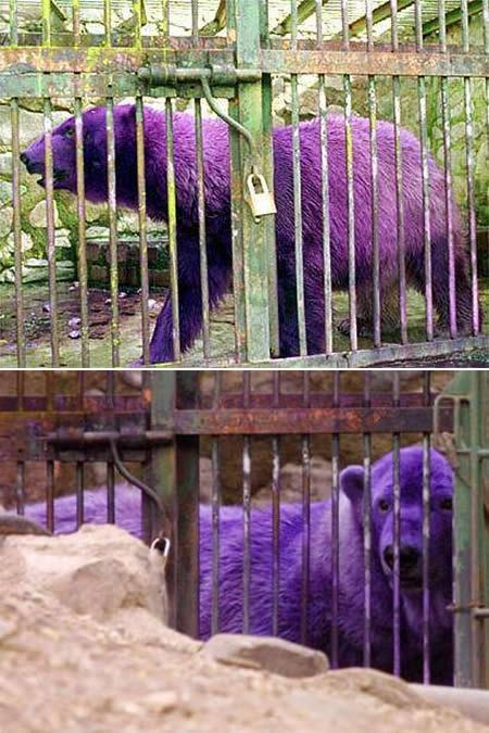 a97317_g200_2-purple-bear