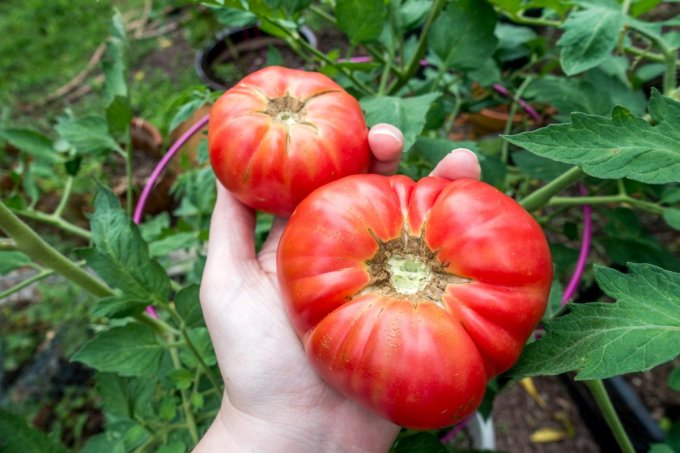 Mortgage Lifters or German Johnsons are among the best tasting tomatoes for sandwiches