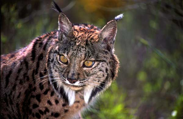https://i2.wp.com/www.iberianature.com/material/photos/spain_wildlife/wildlife/iberian_lynx_7.jpg