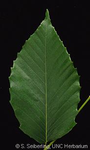 Plant Information Center Fagus Grandifolia