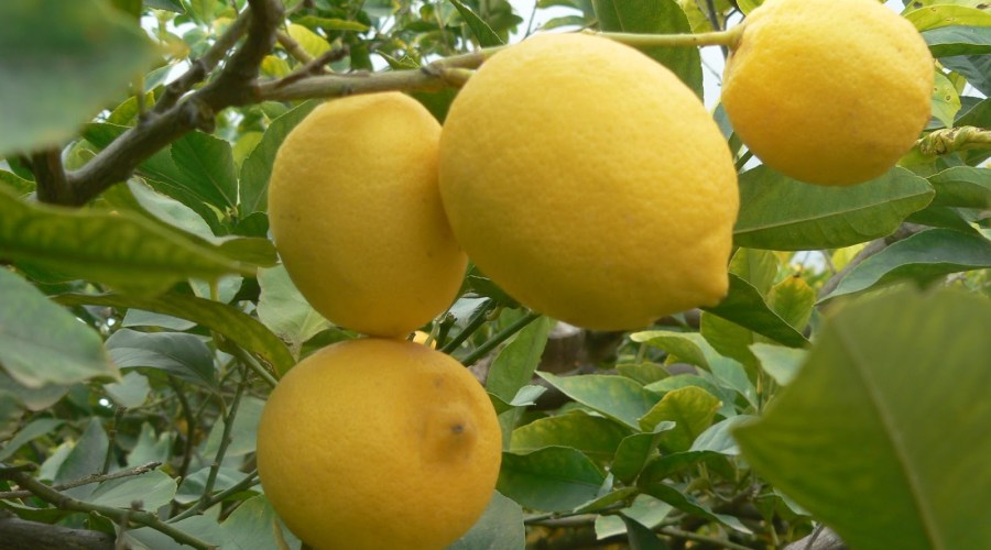 limones3 900x500 - Naranjas y limones de Ibiza - Ibizagrove inicio