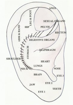Western Ear Anatomy