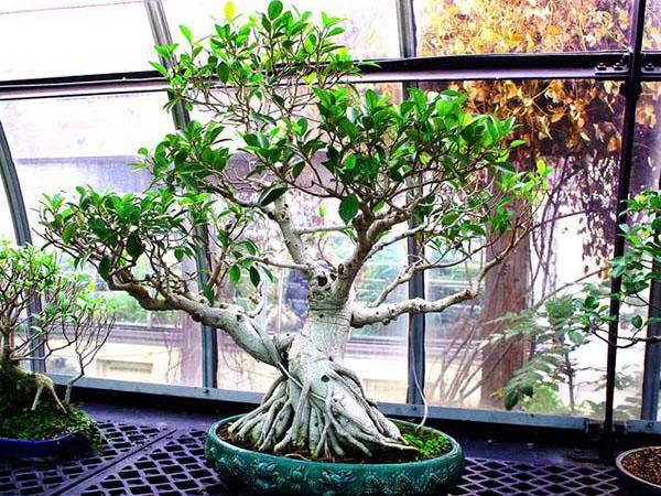 Bonsai Ficus Ginseng Cosè E Come Prendersene Cura I Bonsai