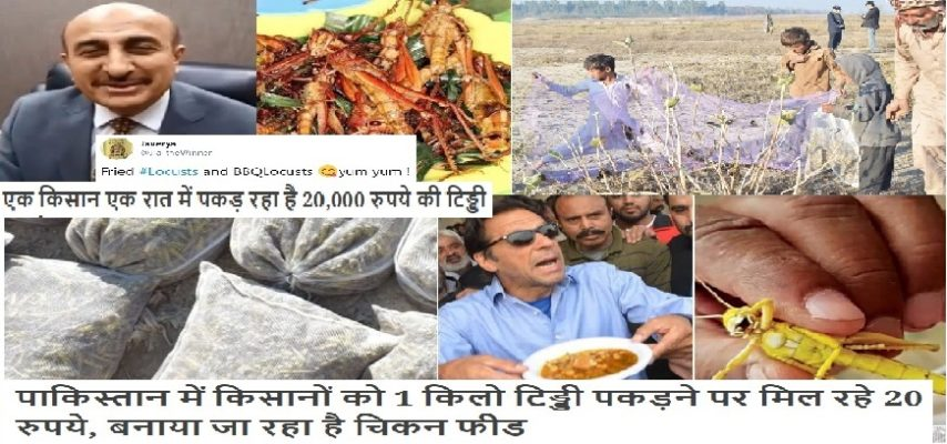PAKISTAN EARNING MONEY FROM LOCUSTS BY CHICKEN FEED