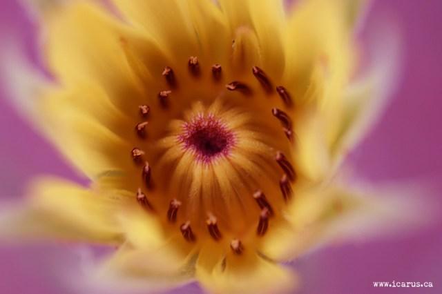 Purple / Yellow