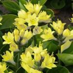 Bakker Spalding launches first hosta to flower yellow