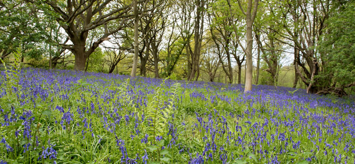 Bluebell Woodland at Sotshole Broad – Fairhaven Garden opens Monday, April 23