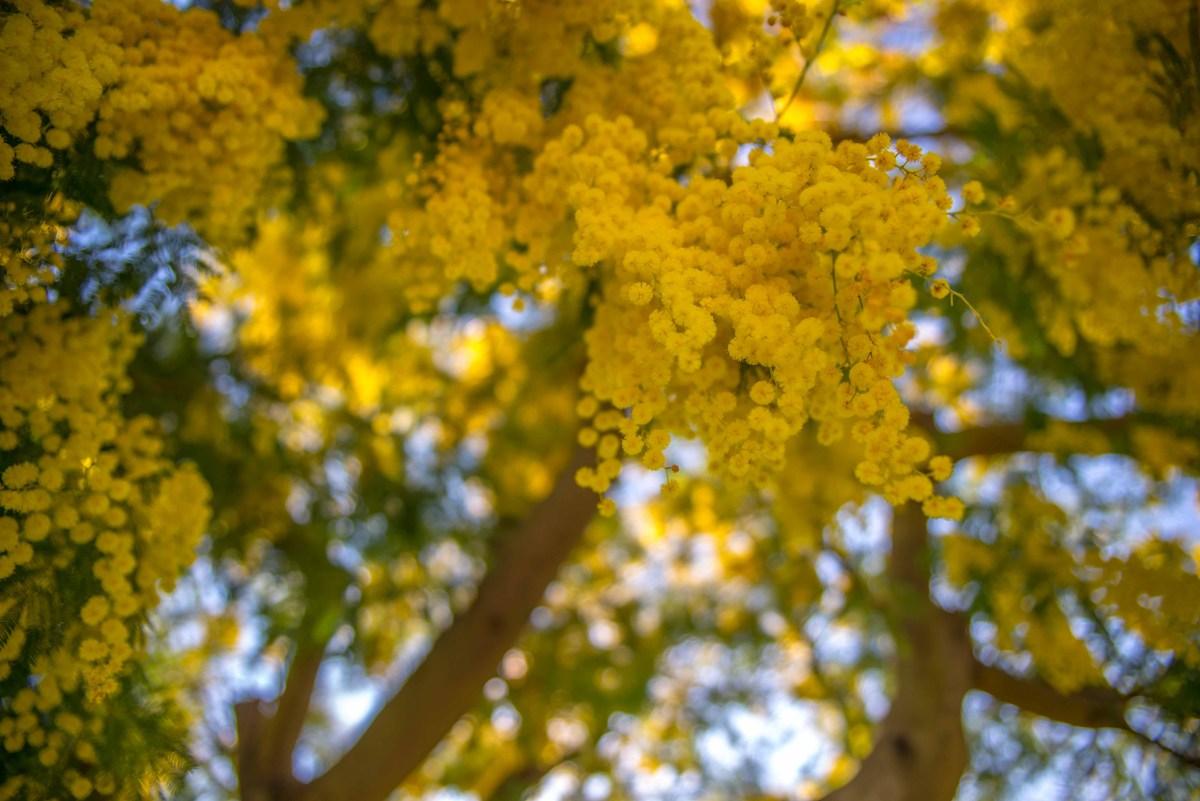 Mimosa côte d'azur Alpes maritimes route du mimosa Madelieu-la-napoule Bormes les mimosas Tanneron
