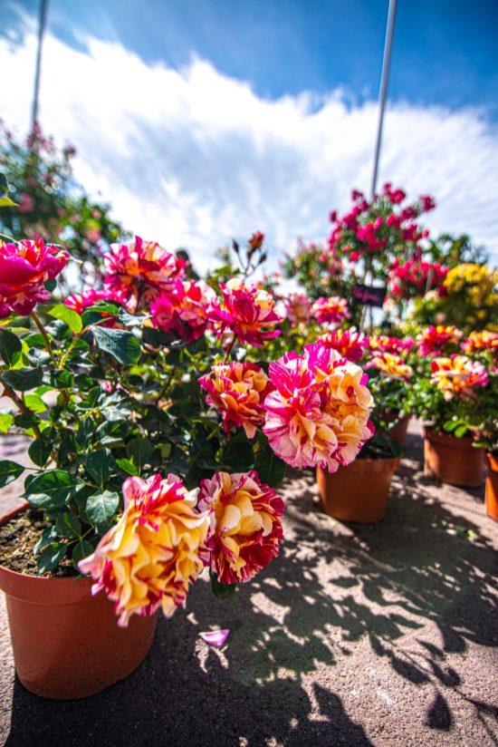 Que faire en provence alpes cote d'azur Grassse aux roses blog voyage