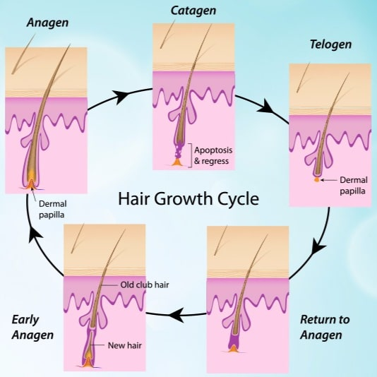 NOVUHAIR growth cycle of the hair
