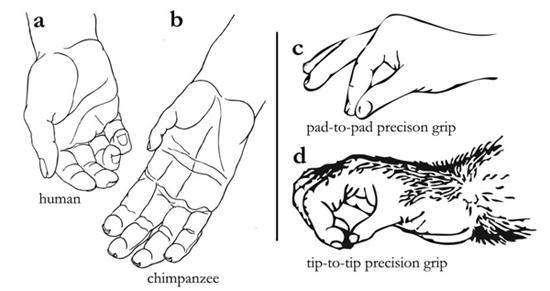 Diferència de mida relativa del polze humà (a) i de ximpanzé (b) i diferències alhora de realitzar una pinça de presició en amdues espècies