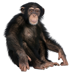 New Chimp Genome Confirms Creationist Research