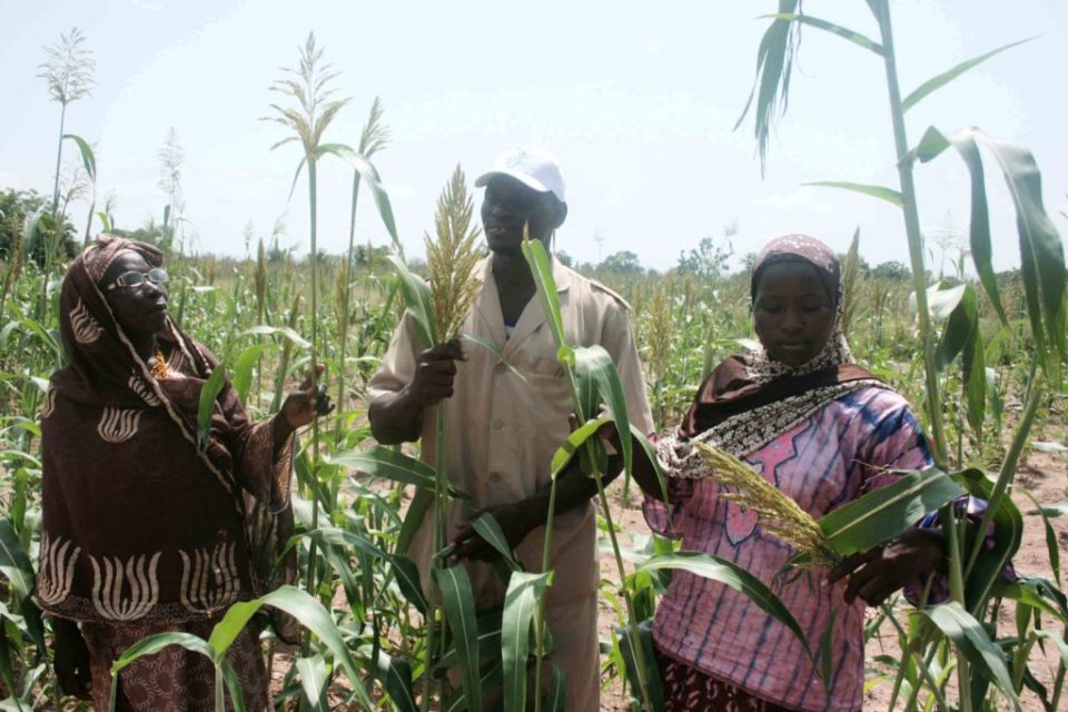 Farmers examine an improved sorghum variety in the technology park at M'Pessoba, Koutiala district, Mali. Photo: ICRISAT