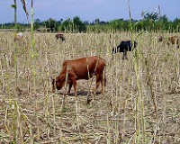 Farmers in drought-stressed western Kenya rely on drought-tolerant sorghum not only to feed themselves but also to provide scarce dry-season grazing for their cattle