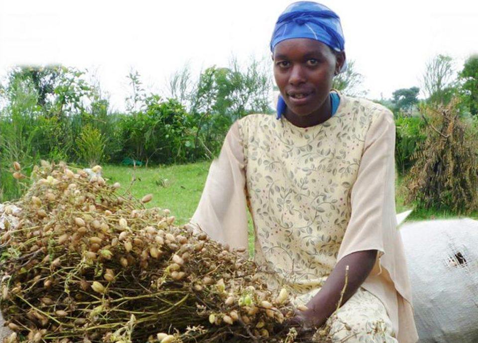 Improving farmer livelihood through chickpea cultivation.