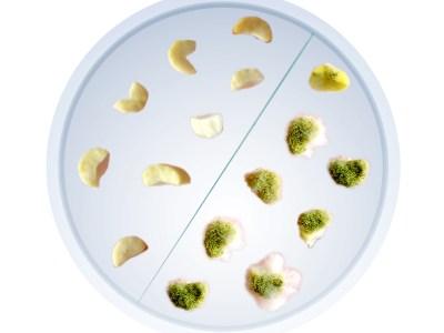 Aflatoxin-immune groundnut (
