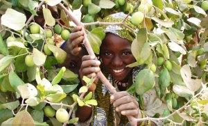 Pomme du Sahel, a nutritious and drought-tolerant fruit tree.
