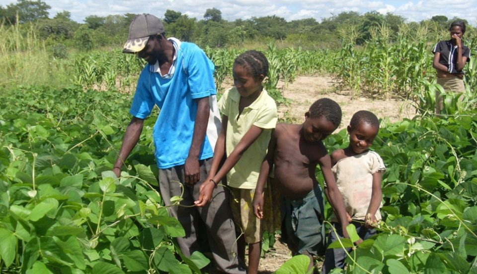 Mucuna, a high protein, drought-tolerant legume not only improves soil fertility and resists Striga, but also helps smallholder crop-livestock farmers cope with climate change. (Photo: Patricia Masikati/ICRISAT)