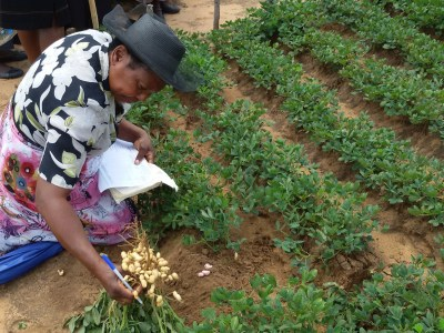 Photo: A woman farmer checks the quality of a new groundnut variety during a participatory varietal selection trial. in Tsholotsho District, Matabeleland North province, Zimbabwe. Groundnut is seen by AgMIP scientists as a climate-smart crop as this legume is nutritious, soil-enriching and resilient to climate change (Credits: Sabine Homann Kee-Tui)