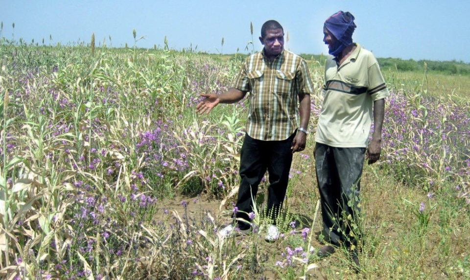 Striga weed wreaks havoc on sorghum but can be managed through the 'Integrated Striga and Soil Fertility Management' strategy, boosting resilience and profit. PC: C Masiga, ICRISAT
