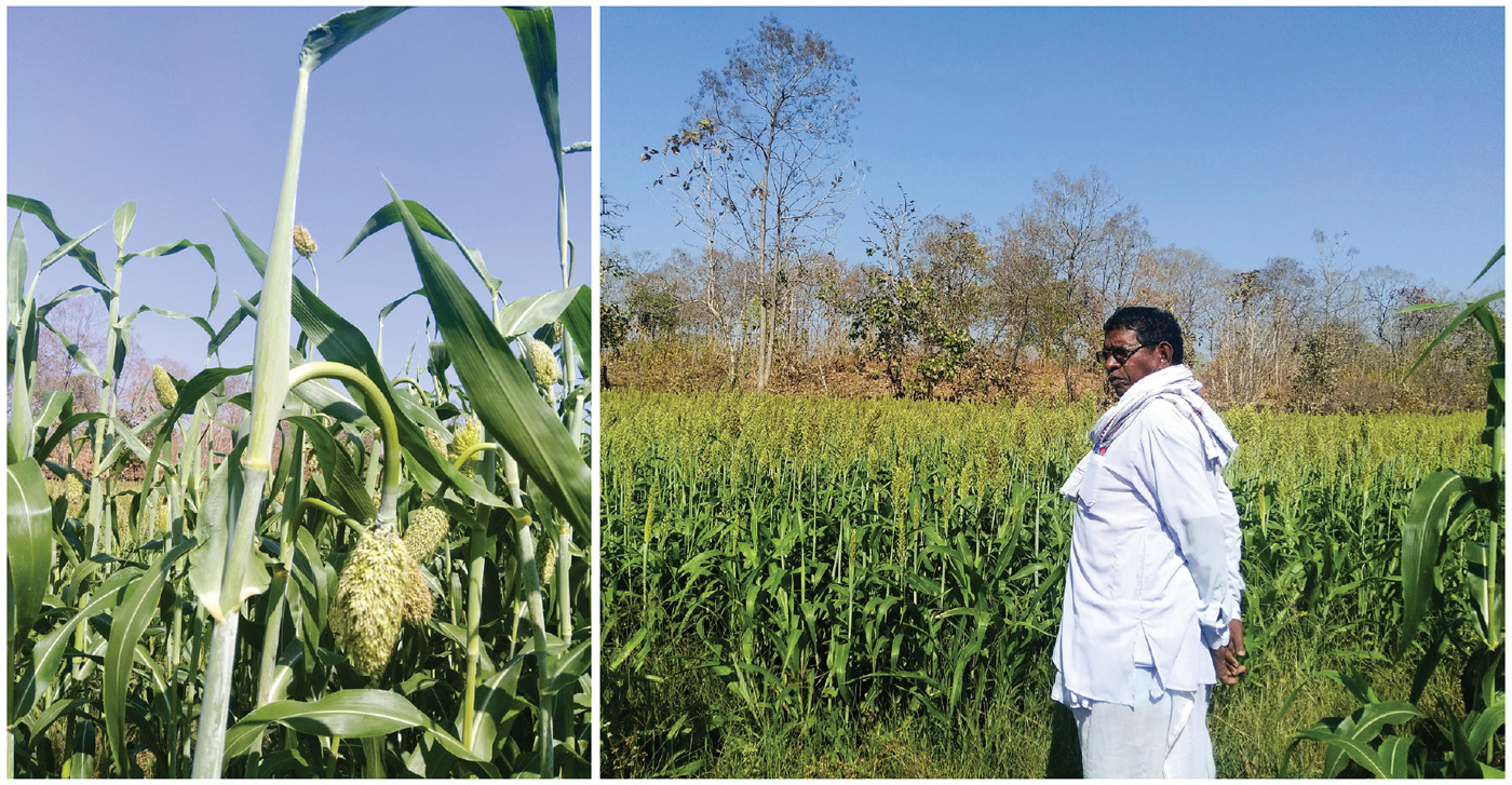 (L to R) The characteristic 'drooping panicle' of Persa Jonna. A farmer surveying his sorghum field. Photos: Rajani K, ICRISAT