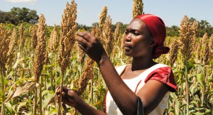 A farmer in her sorghum field in Tanzania. File Photo: ICRISAT