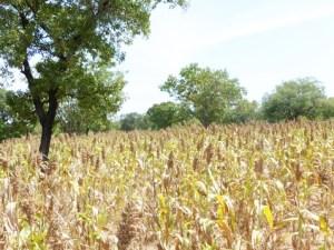 Soubatimi seed production on Fousseini Mariko's land. Photo: ICRISAT