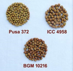 Pusa (BGM) 10216 alongside the older variety and a landrace.