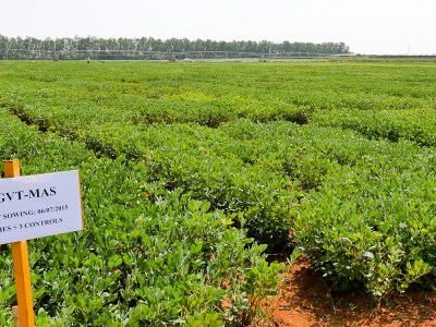 File photo of evaluation trial of high oleic lines developed at ICRISAT during 2015 rainy season. Photo: ICRISAT