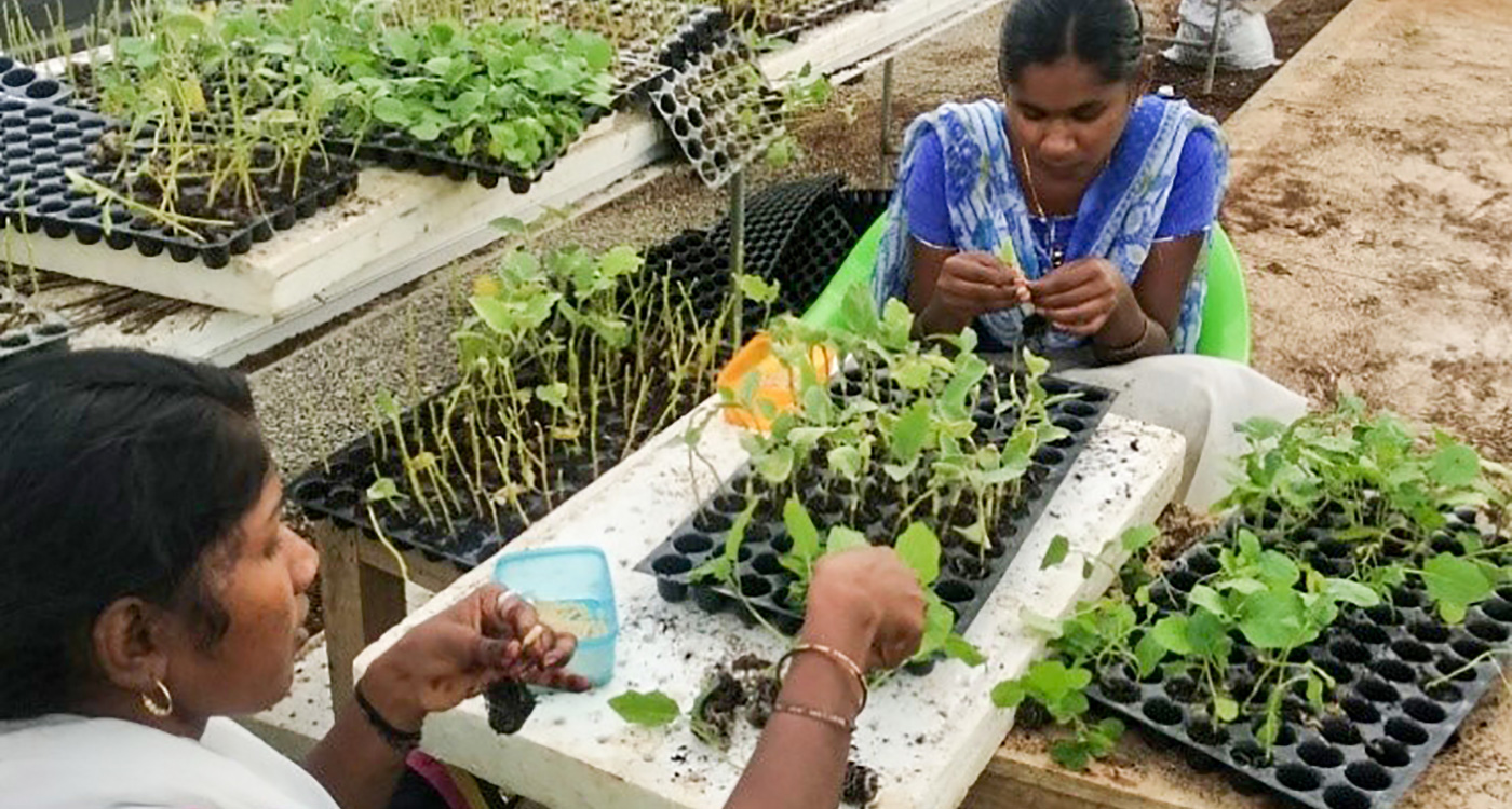 Center of Excellence staff make vegetable grafts. Photo: A Seshadri , ICRISAT