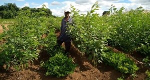 A field in Malawi with groundnut/pigeonpea intercrop before COVID-19 hit the region. Photo: L Lazarus, ICRISAT