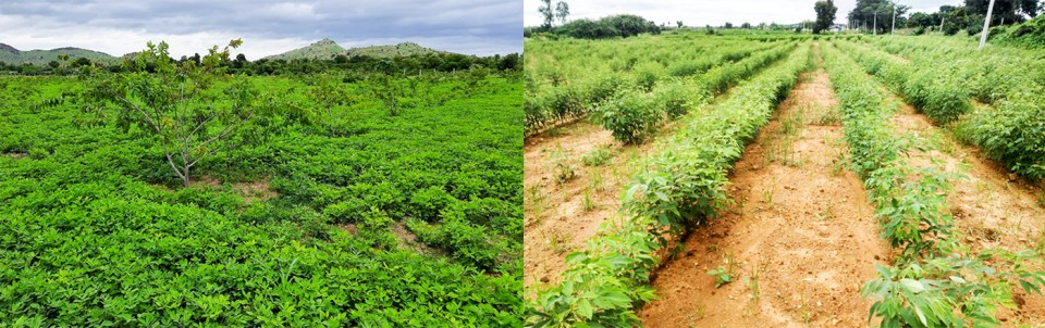 (L) Groundnut demonstration plot interspersed with guava trees in Anantapur. (R) Pigeonpea demonstration plot in Wanaparthy. Photo: ICRISAT