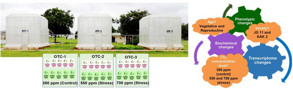 A combined physiological and transcriptomic approach provides insights into the molecular dynamics and gene regulation of the responses to CO2 stress. Photo: ICRISAT