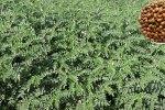 Desi chickpea variety Phule Vishwaraj (ICCV 15109) released in Maharashtra, India. Photo: NS Kute, MPKV Rahuri