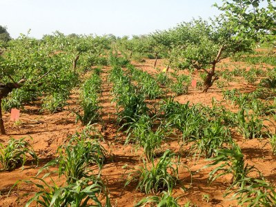 An experiment plot with pearl millet and ziziphus plants. Photo: V Bado, ICRISAT