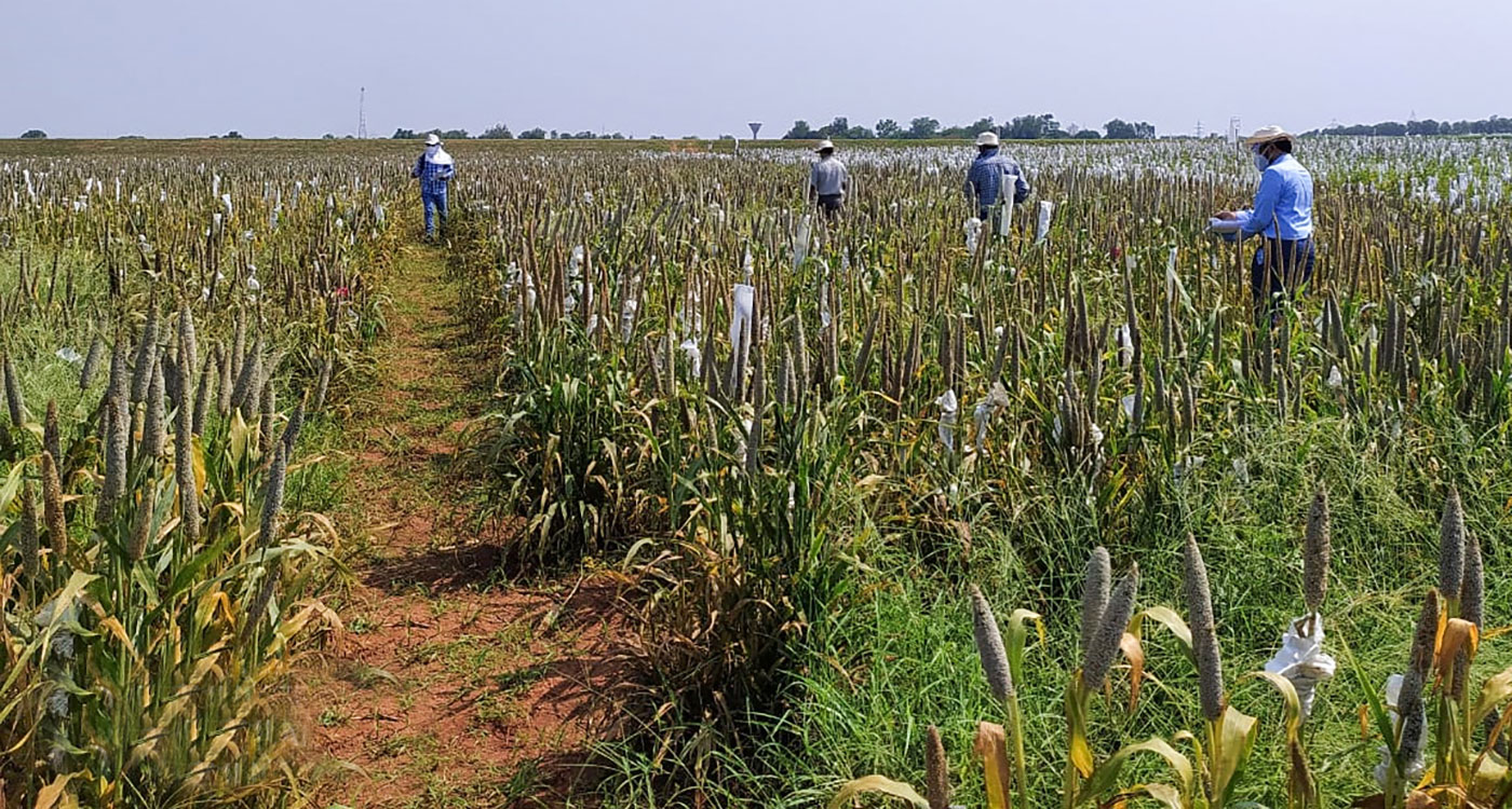 Public and private sector scientists selecting pearl millet material from breeding plots at ICRISAT, Hyderabad. Photo: SK Gupta, ICRISAT