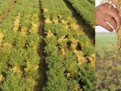 Image on the left shows DRR damage in a field (yellowed plants are affected) while image on the right shows how the fungus affects the plants.