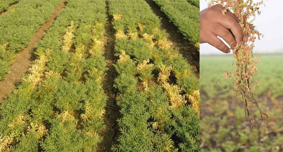 Image on the left shows DRR damage in a field (yellowed plants are affected) while image on the right shows how the fungus affects the plants. Pictures: Devashish Chobe, ICRISAT